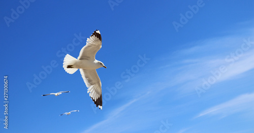 flying seagull accompanied by two other gulls Canvas Print
