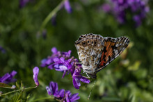 """Butterfly """"Vanessa Cardui"""" Drinks Nectar From Small Purple Flowers."""