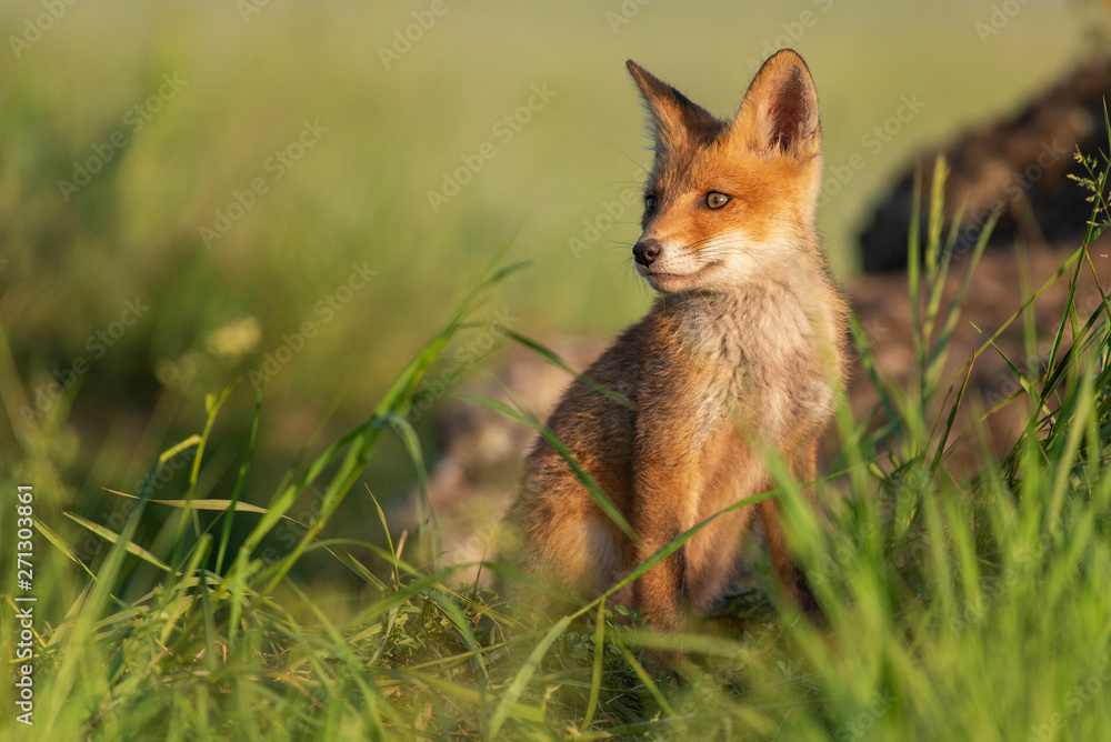 Young red Fox in grass on a beautiful sunlight