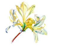 Flowering Branch Azaleas Paint...