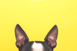 canvas print picture - Portrait of a Boston Terrier dog with big ears looking up against a yellow background.