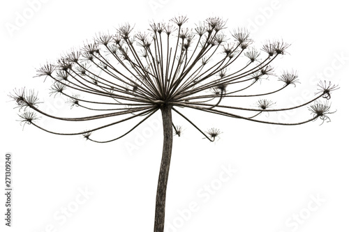 Dry plant on white background Canvas-taulu
