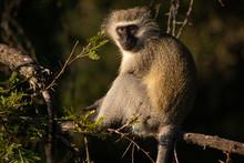 Vervet Monkey Sitting In A Tree