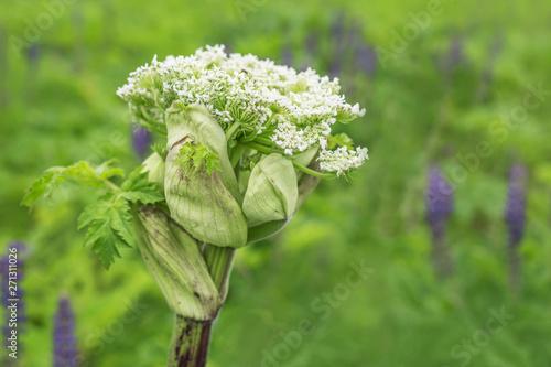 Valokuvatapetti Giant blooming hogweed, dangerous to humans