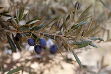 Branch Of Wild Olive-tree With...
