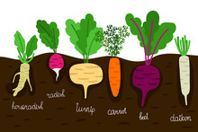 Vegetables Garden Growing. Vegetable Gardening With Roots In Ground Vector Illustration. Horseradish And Daikon, Beet And Turnip, Radish And Beetroot