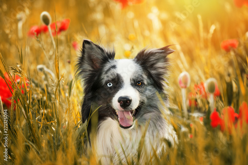 Fotografía Border collie dog with poppy flowers