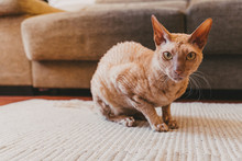 Sitting Gold Eyed Peterbald Cat . Purebred Cat Looking At The Camera...