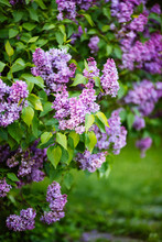 Purple Lilac Blossoms Blooming...