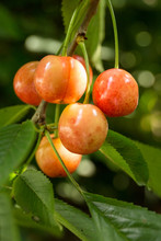 Cherries Hanging From A Cherry Tree Branch.