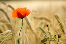Poppy Wheat
