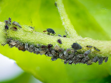 Aphid Group In A Branch