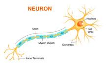 Illustration Of Neuron Anatomy...