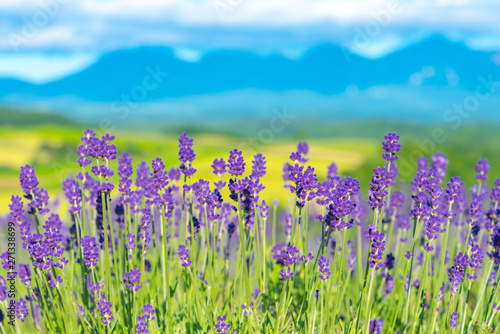 Cadres-photo bureau Lavende close-up violet Lavender flowers field in summer sunny day with soft focus blur natural background. Furano, Hokkaido, Japan