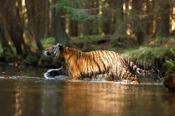 Tiger im Fluß