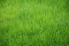 Green Background Of Uncut Natural Gras