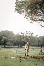 Zebras And Giraffes Are Walkin...