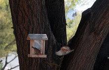 House Finches At The Feeder