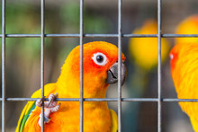 Yellow And Orange Parrot In A Cage.