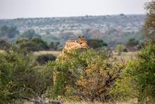 Giraffe Reaching For Food