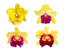 Collection Of Yellow Cattleya Orchid Isolated On A White Background.