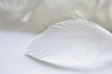 White Feather Of Seagull