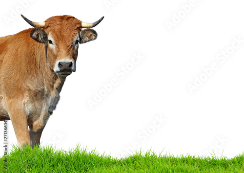 Staande foto Koe Cow isolated on white background.