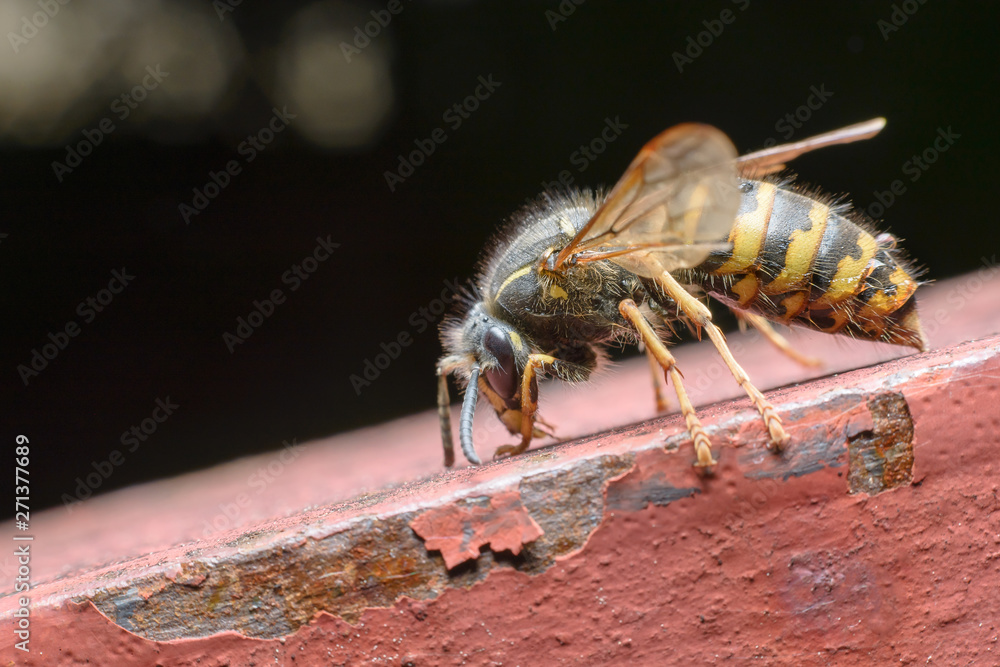 A huge striped wasp on an old rusty red surface. Dark background. Macro photography of insects, selective focus, copy space.