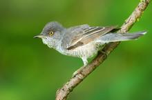 Barred Warbler (Sylvia Nisoria...
