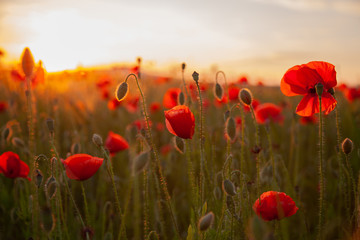field with red flowering poppies against a bright sunny sky