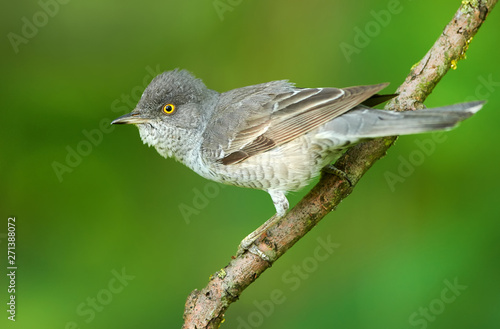 Fotomural Barred warbler (Sylvia nisoria) close up