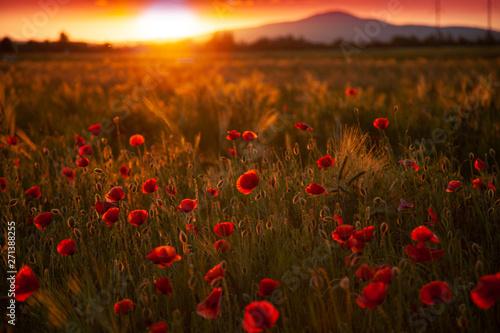 Fototapeta field with red flowering poppies against a bright sunny sky obraz na płótnie