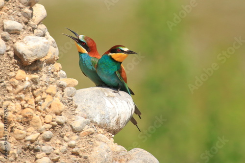 fototapeta na lodówkę European bee-eater (Merops apiaster), beautiful colorful birds, colony on rocky slope