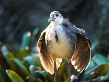 White-breasted Waterhen (Amaur...