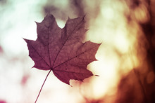 Closeup Of One Maple Leaf On The Car Windshield. Indian Summer Season. Instagram Style