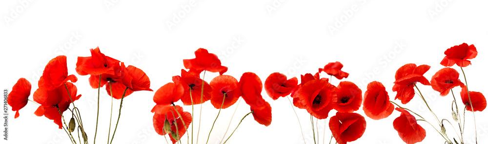 Czerwony Makowy kwiat na białym tle