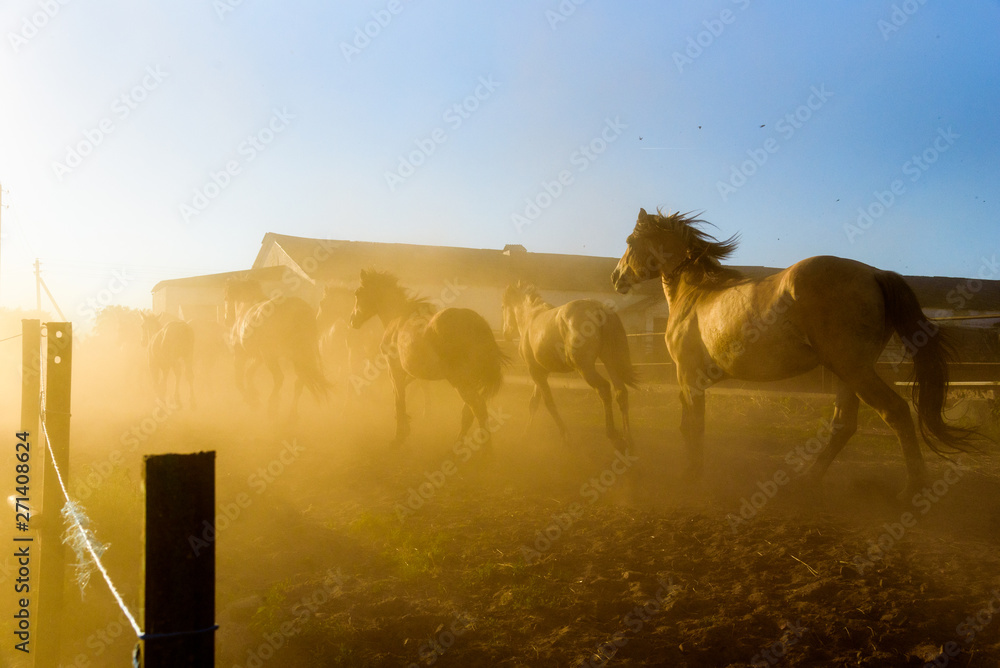 Fototapety, obrazy: A herd of horses running on a farm in the dust.