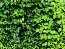 Green Leaf Of Ivy Plant