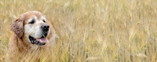 Close On Head Of A Dog, Golden Retriver In A Field Of Wheat