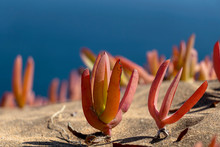 Sand Dunes Concon With Seaside Flora: Dune Grass And Red Ice Plants In Autumn