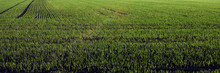 Field On Early Spring. Grain Has Started To Grow. Panorama View.