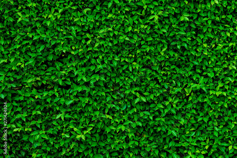 Fototapety, obrazy: Backdrop and texture of green leaves natural wall