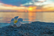 Tropical Frangipani White Flower Near The Sunset Beach. Flower Spa. Copy Space.