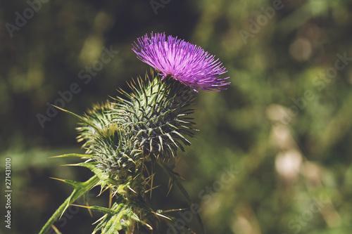 Carta da parati prickly thistle blooming closeup outdoor horizontal