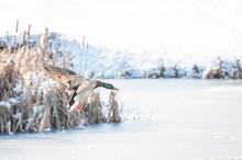 Duck Landing On Ice