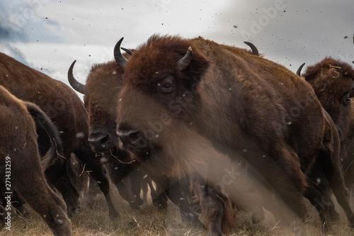 Obraz na plátne bison
