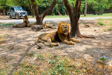 Lion Relaxing Under Tree In A Zoo