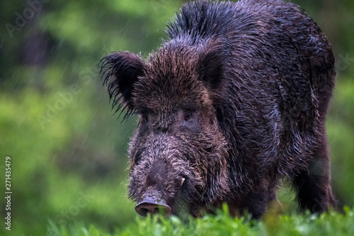 Fototapety, obrazy: Close up of an isolated hairy wild bore in the forest during winter rain- Romania