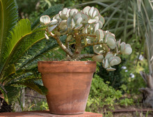 Succulent Plant In Terracotta Pot