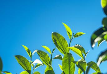 Green tea, tea tree, tea leaves, Assam tea, fresh green and bright sky